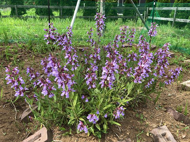 ハーブセージの花