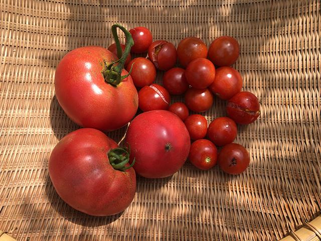 7月21日のうちの菜園のトマト