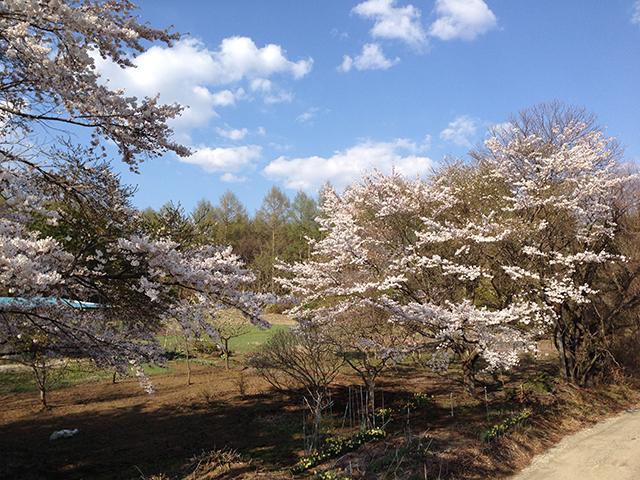 (写真は、私の家の裏の桜の頃)