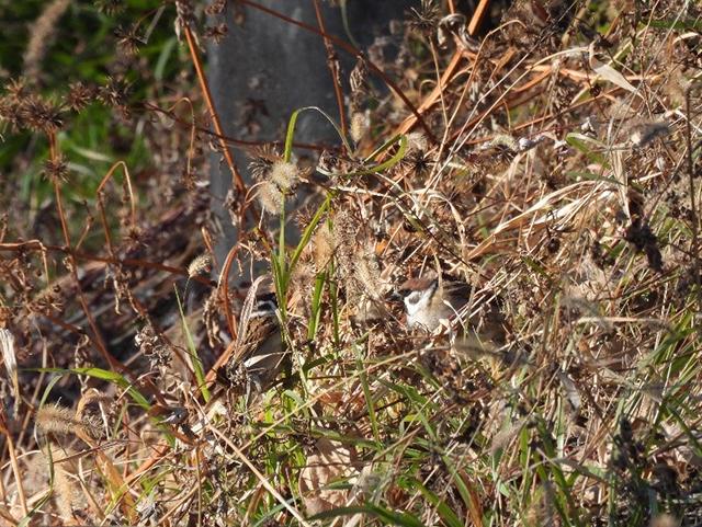 写真(右):冬の冷え込むある日。日当たりのよい落ち葉の中でひなたぼっこするすずめを見つけました。