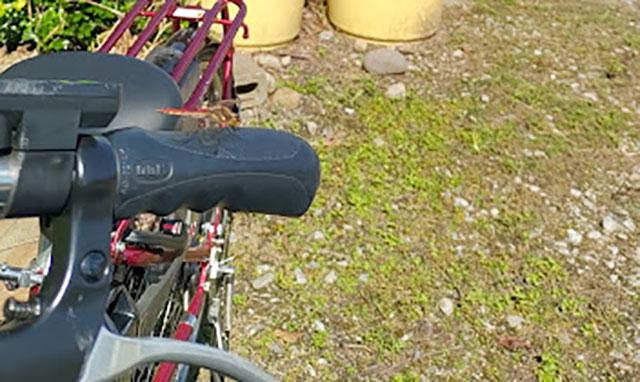食材を買いに行きがてら近所を自転車で散策。トンボさんがハンドルで日向ぼっこしています。